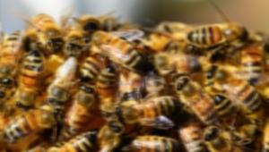 Nazımiye'de arı saldırısı: 1 ölü, 3 yaralı
