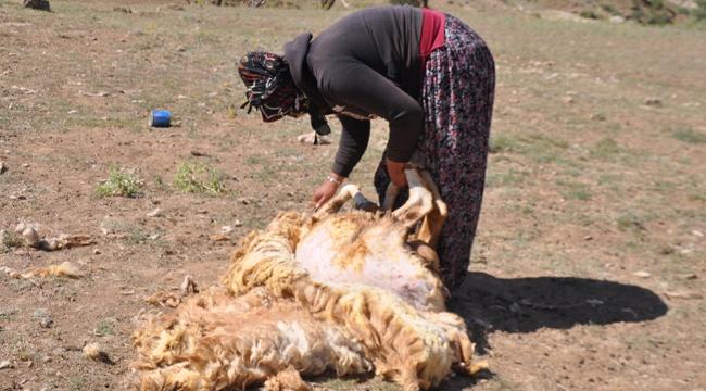 Kayseri'de kırkılan koyunların yünleri, çeyiz oluyor!