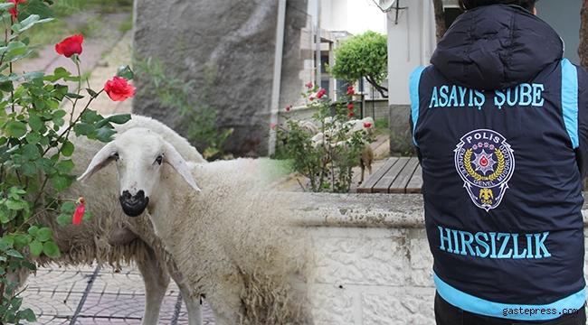 Başıboş koyunlar, karakol bahçesine götürüldü