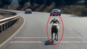 Kaçan kurbanlık koç, karayolunda 4 kilometre koştu!