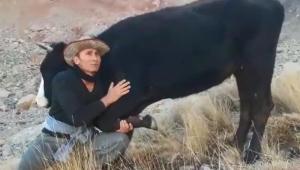 Kayserili çiftçi bacağı kırılan hamile ineği için helikopter istedi!